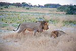 Two Lion Brothers Rule the Terrain in Moremi Animal Reserve in Botswana in Africa