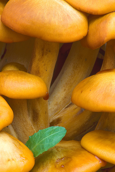 Jack 'O Lantern Mushrooms grow profusely at Swallow Cliff Forest Preserve in the Palos Region of Cook County, Illinois