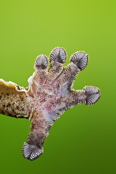 Close-up of Henkel's Leaf-Tailed Gecko (Uroplatus henkeli) underside of foot adhering to glass thanks to setae (hair-like structures) on their toepads.