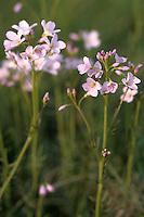 Pinksterbloem (Cardamine pratensis).