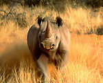 Black rhinoceros (Diceros bicornis), South Africa