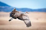 March 21, 2018: A sandhill crane takes flight above the National Wildlife Refuge fields and wetlands.  Each spring, as many as 27,000 sandhill cranes migrate through Colorado's San Luis Valley and the Monte Vista National Wildlife Refuge, Monte Vista, Colorado