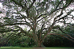 The Lichgate Oak at 1401 High Rd in Tallahassee, Florida March 17, 2001.    (Mark Wallheiser/TallahasseeStock.com)