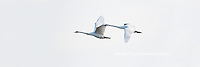 00758-01801 Trumpeter Swans in flight, Riverlands Migratory Bird Sanctuary, West Alton, MO