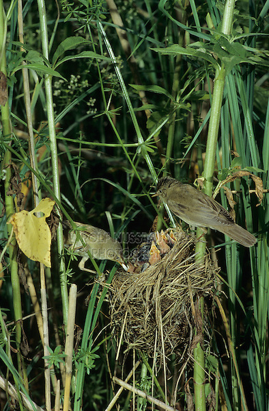 Marsh Warbler, Acrocephalus palustris, adult with fecal sac at nest with young, Dersbach, Switzerland, June1995