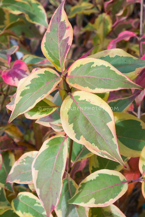 Cornus kousa 'Summer Gold' foliage Korean Dogwood tree variegated
