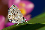 SE Asia, Thailand, Khon Kaen, The pale grass blue Butterfly (Pseudoszizeeria maha maha) on Leaf