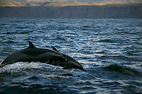 pantropical spotted dolphins, Stenella attenuata, porpoising, Wild Coast, Transkei, S. Africa (do)