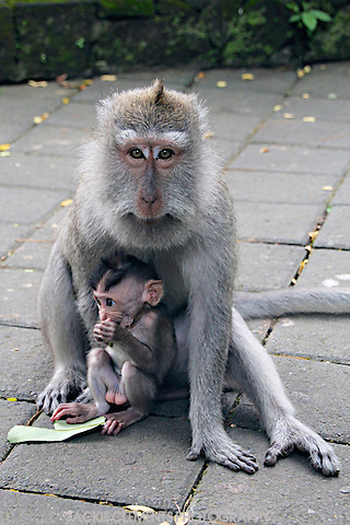 A female macaque protects her baby at the Sacred Monkey Forest in Ubud, Bali