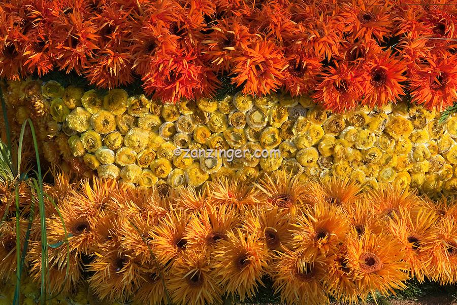 Orange, Yellow Spider, Daisy, rose perennial flowering shrub, Yellow Roses, vine genus Rosa,  Rosaceae,