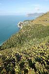 Village de Corniglia en contrebas et pointe de Mesco au loin vu depuis le sentier reliant dans les vignes Corniglia et Manarola. Parc national des Cinque Terre. Ligurie. Italie.
