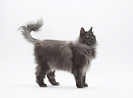 Norwegian Forest Cat - Male - Blue Colour - 2 years old