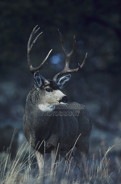 Mule Deer, Black-tailed Deer (Odocoileus hemionus), buck,  Rocky Mountain National Park, Colorado, USA