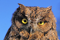 Western Screech-Owl (Megascops Kennicottii), summer, North America.