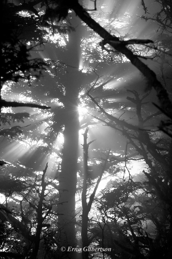 filtered light thru mist at tree canopy in Coastal Forest