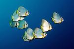 Platax orbicularis, Circular spadefish, Raja Ampat, Indonesia