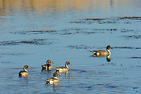 Northern Pintail drakes (Anas acuta).  Western U.S., fall.