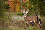 White-tailed bucks with does