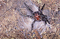 Sydney Funnelweb Spider (Atrax robustus) disturbed in burrow, attack mode. Woronora NSW.