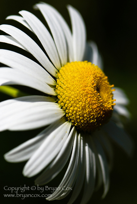 Oxeye Daisy (Leucanthemum Vulgare), Coast mountain range, Oregon