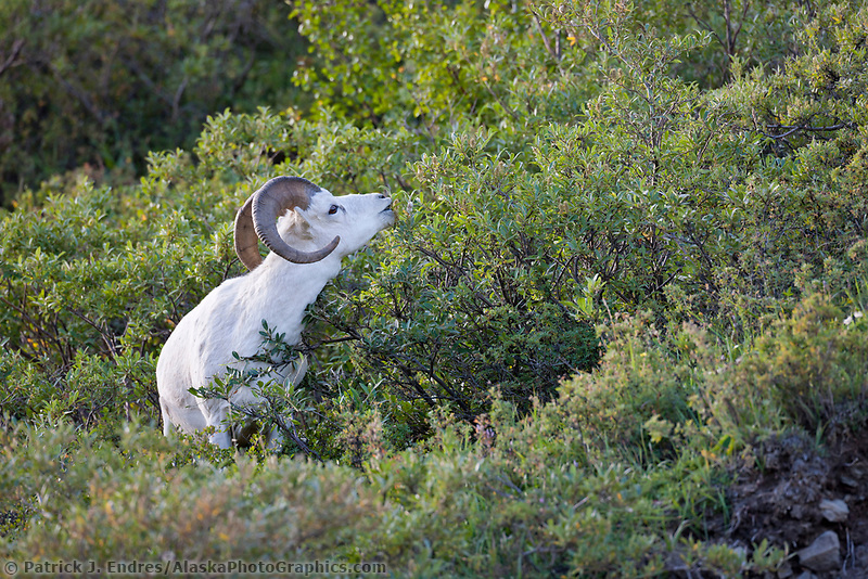 Dall sheep ram feeds on willows in Polychrome Pass, Denali National Park, interior, Alaska.