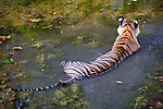 India, Rajasthan, Ranthambhore National Park, Bengal tigress cooling off in water
