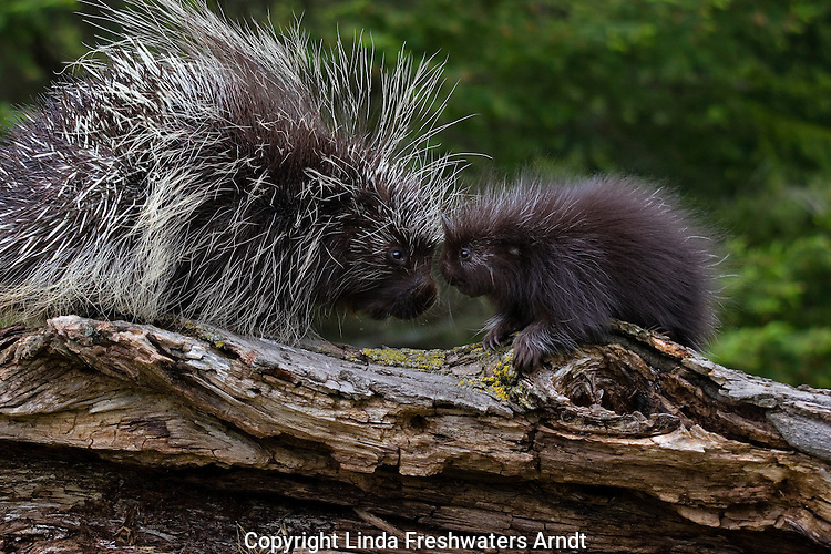 Porcupine (Erethizon dorsatum) with offspring on a log.  Spring.  Minnesota.