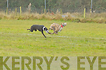 Ballyrega Shauna(White collar) races against Languville at the annual coursing meet last Saturday in Newcastlewest.