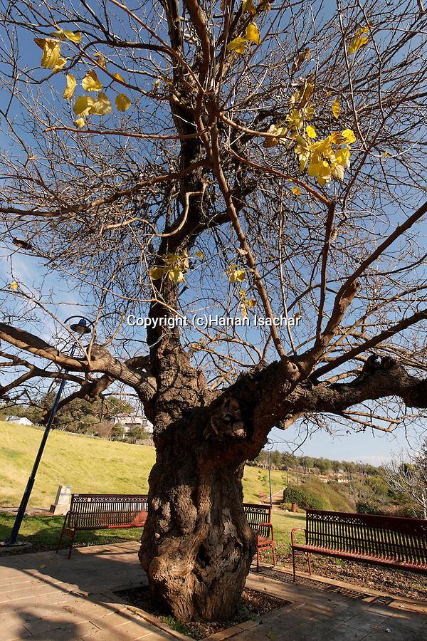 Israel, the Upper Galilee. Mulberry tree (Morus Alba) in Metulla<br />