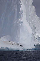Chinstrap Penguins Pygoscelis antarcticus and Gentoo penguins Pygoscelis papua resting on Iceberg, Weddel sea Southern Ocean, Antarctica