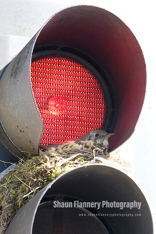 Pix: Shaun Flannery/shaunflanneryphotography.com..COPYRIGHT PICTURE>>SHAUN FLANNERY>01302-570814>>07778315553>>..1st April 2010............A brooding Thrush makes it's nest and takes shelter in the red light of a traffic light on a zebra crossing in Doncaster, South Yorkshire.