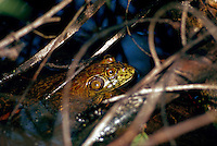 Frog in a march