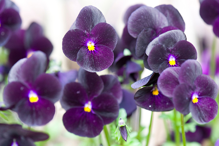Viola x wittrockiana 'Bingo Deep Purple', mid April. A winter/spring flowering pansy.