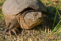 0611-0909  Snapping Turtle, Chelydra serpentina  © David Kuhn/Dwight Kuhn Photography