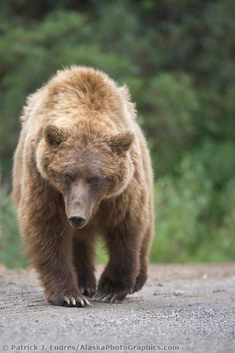 Grizzly bear sow, Denali National Park, Alaska