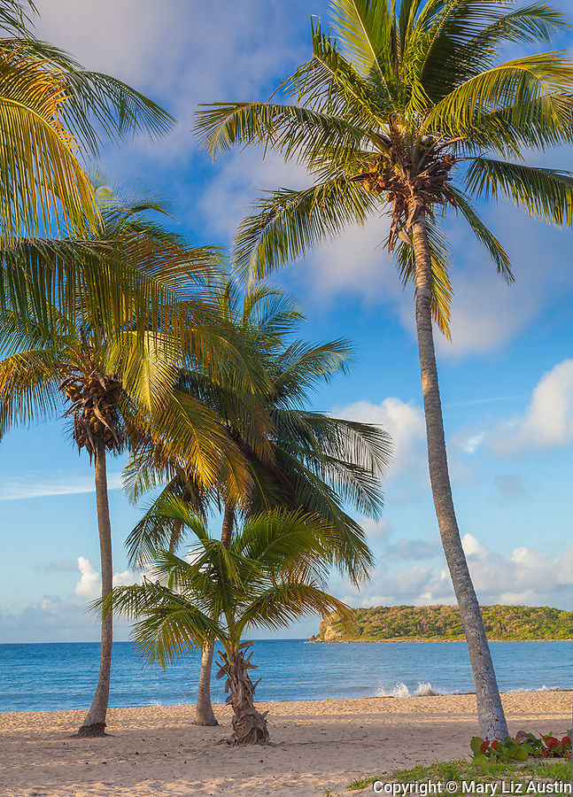 Vieques, Puerto Rico: Morning sun on a group of palm trees at Sun Bay