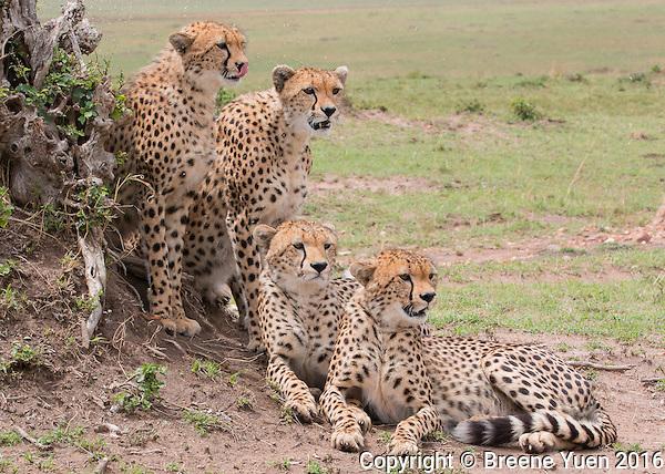 Cheetah Mom and Her 3 Cubs   Kenya 2015