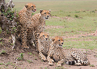 Cheetah Mom and Her 3 Cubs   Kenya 2015