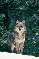 Gray wolf or timber wolf (Canis lupus).