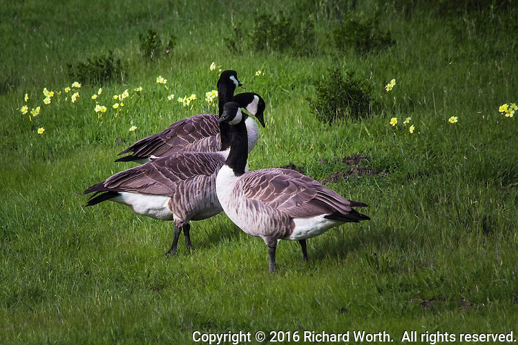 On a warm afternoon, a trio of Canada geese prowl in the grass at Martin Luther King Jr. Regional Shoreline in Oakland.