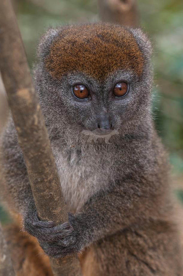 Alaotra reed lemur (Hapalemur alaotrensis)