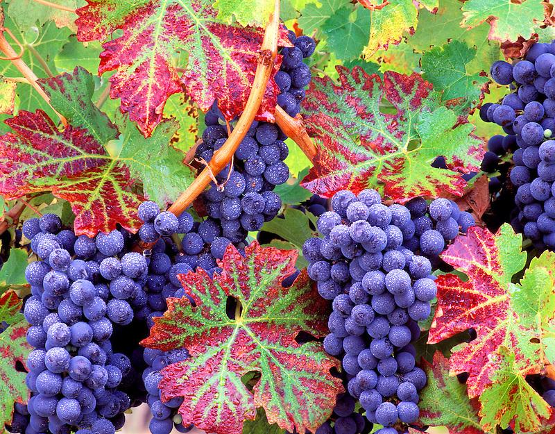 V00145M.tiff   Grapes (cabernet sauvingnon) with fall color. Alpine Vineyards, Oregon