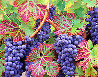 V00145M.tiff   Grapes (cabernet sauvingnon) with fall color. Alpine Vineyards, Oregon