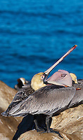 This California brown pelican (Pelecanus occidentalis californicus) is inverting its bill pouch (gular sac) on a rock in front of the ocean.   The pelican is seen from behind, and some type of protruding  organ inside the sac is visible.