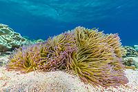 Magnificent Sea Anemone, Heteractis magnifica, Mengiatan Island, Komodo National Park, Flores Sea, Indonesia