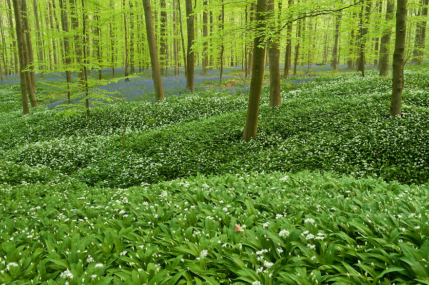Wild garlic Allium ursinum carpet in Hallerbos forest, Belgium