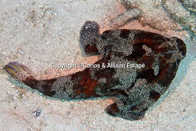 Ogcocephalus cubifrons, Polka-dot batfish, Florida Keys