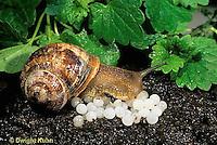 1Y08-094z   Land Snail - west coast snail laying eggs - Helix aspersa