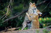 Wild coyote (Canis latrans) pups play near densite.  Westerrn U.S., June.