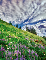 Wildflowers, mostly Lupine, and approaching storm. Mount Rainier National Park, Washington.